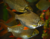 Tinfoil barb. Red tail tinfoil barb in an aquariumnin Stock Images