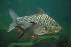 Tinfoil barb and the yellow eyed silver barb. Tinfoil barb Barbonymus schwanenfeldii and the yellow eyed silver barb Hypsibarbus pierrei Royalty Free Stock Photos