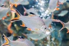 Tinfoil barbeta ryba, świeżej wody ryba w Tajlandia obrazy royalty free