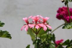 Tinia del Pelargonium Fotografía de archivo libre de regalías
