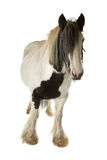 Tinker horse Stock Photography