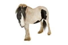 Tinker horse. Single tobiano Gypsy Tinker horse isolated on white background Royalty Free Stock Image