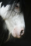 Tinker horse portrait. Over black Royalty Free Stock Photography