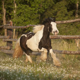 Tinker horse running Royalty Free Stock Images