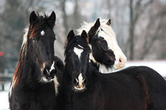Tinker horses. Portrait of three young tinker horses Royalty Free Stock Photos