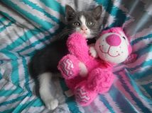 Tinker. My cat tinker with her stuffed dog Royalty Free Stock Images