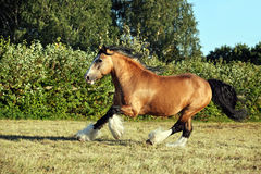 Tinker pony gallops in evening pasture Stock Photography