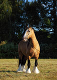 Tinker pony walks in evening pasture Stock Photo