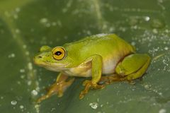 Tinker Reed Frog Stock Photography