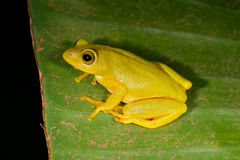 Tinker reed frog. (Hyperolius tuberilinguis) on a plant leaf, South Africa Royalty Free Stock Images