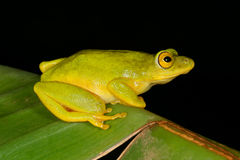 Tinker reed frog. (Hyperolius tuberilinguis) on a plant leaf, South Africa Stock Image