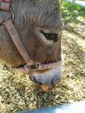 Tinkerbell the donkey. Eating carrot harness hay eye petting zoo festival orange grass brown mouth chewing vegetable animal sunshine kids activity fall gathering Royalty Free Stock Photos