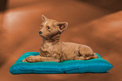 Tinkerbell the first. Tinkerbell I the chihuahua sitting on her pillow Royalty Free Stock Images