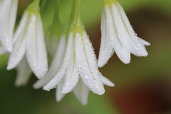 Tinkerbell kwitnie z kroplami woda zdjęcia stock