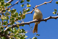 Tinkling Cisticola in Thorn Tree. A beautiful white, yellow, and brown Tinkling Cisticola perches in a thorn tree in Mopane Rest Camp nature trail in Kruger stock photography