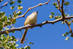 Tinkling Cisticola in Thorn Tree. A beautiful white, yellow, and brown Tinkling Cisticola perches in a thorn tree in Mopane Rest Camp nature trail n Kruger royalty free stock images