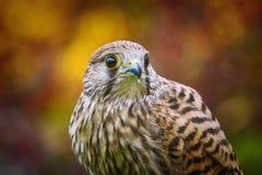Tinnunculus commun de Falco de crécerelle Photo stock