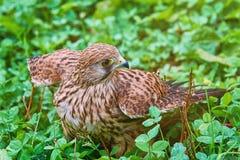 Tinnunculus commun de Falco de crécerelle Images stock