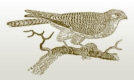 Tinnunculus commun de falco de crécerelle de femelle se reposant sur une branche tenant une proie dans sa griffe Photo stock
