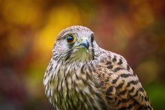 Tinnunculus comum de Falco do francelho Foto de Stock