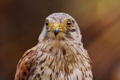 Tinnunculus comum de Falco do francelho Foto de Stock Royalty Free