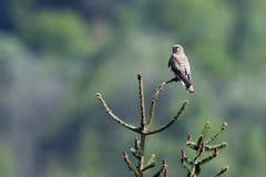 Tinnunculus de Falco, cernícalo común que se coloca en una rama, los Vosgos, Francia Imagen de archivo libre de regalías