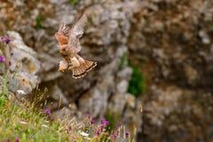 Tinnunculus eurasien de Falco de crécerelle sur la falaise de Pembrokeshire Image stock