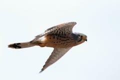 Tinnunculus Falco сокола стоковые фото