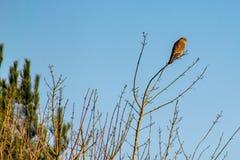 Tinnunculus van Falco van de roofvogel Torenvalk op de takken die van de de winterboom wordt neergestreken royalty-vrije stock afbeeldingen