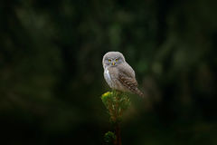 Tinny bird Eurasian Pygmy Owl, sitting on spruce tree trunk with clear dark green forest background, in the nature habitat, Czech. stock photo