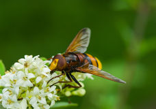 Tinny cute bee-like fly sitting on a white flower Stock Photography