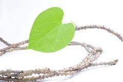 Tinospora crispa (L.) Stock Photos