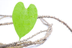 Tinospora crispa (L.)Herb of Thailand Stock Photos