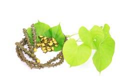 Tinospora crispa (L.) Miers ex Hook.f. & Thoms. Stock Image
