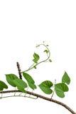 Tinosporacordifolia op witte achtergrond stock foto's