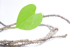 Tinosporacrispa (L.) stock foto's