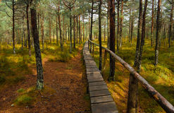 Tinovul Mohos skog Arkivfoto