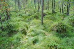 Tinovul. The natural reserve bog great Poiana Stampa Stock Photo