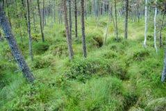Tinovul. The natural reserve bog great Poiana Stampa Royalty Free Stock Photos
