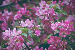 Tinted apple-tree flowers. Tinted pink background with apple-tree flowers closeup Stock Photos