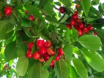 Tinted cherry. Stock Photo