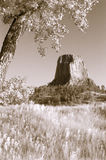 Tinted Devil`s Tower. A view of Devil`s Tower framed by a cottonwood tree and tinted Royalty Free Stock Photo