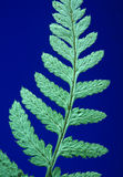Tinted Fern 95 Stock Photos