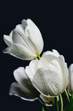 Tinted image bouquet of white tulips with water drops  on a dark. Background  vertical image Royalty Free Stock Photography