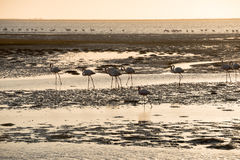 Tinted image of flamingo silhouettes moving along Namibian Coast. A tinted image of flamingo silhouettes moving along Atlantic Ocean shallows at Walvis Bay of Stock Photo