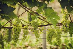 Bunch of white grapes. Tinted photo of a bunch of white grapes close-up hanging on a branch stock images