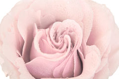 Tinted pink rose isolated Stock Photo