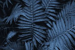 Tinted tropical leaves in the color of the year 2020. Natural classic blue background leaves of decorative fern in the tropics.
