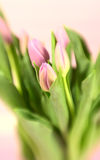 Tinted Tulips Stock Photos