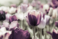 Tinted tulips concept Royalty Free Stock Images